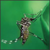 zika mosquito
