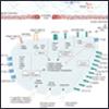 Vascular Endothelium Resources