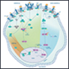 NF-kB and Hematopoietic Stem Cell Specification
