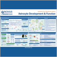 New Poster on Astrocyte Development and Function